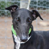Greyhounds Available for Adoption